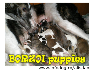 New Borzoi litter!